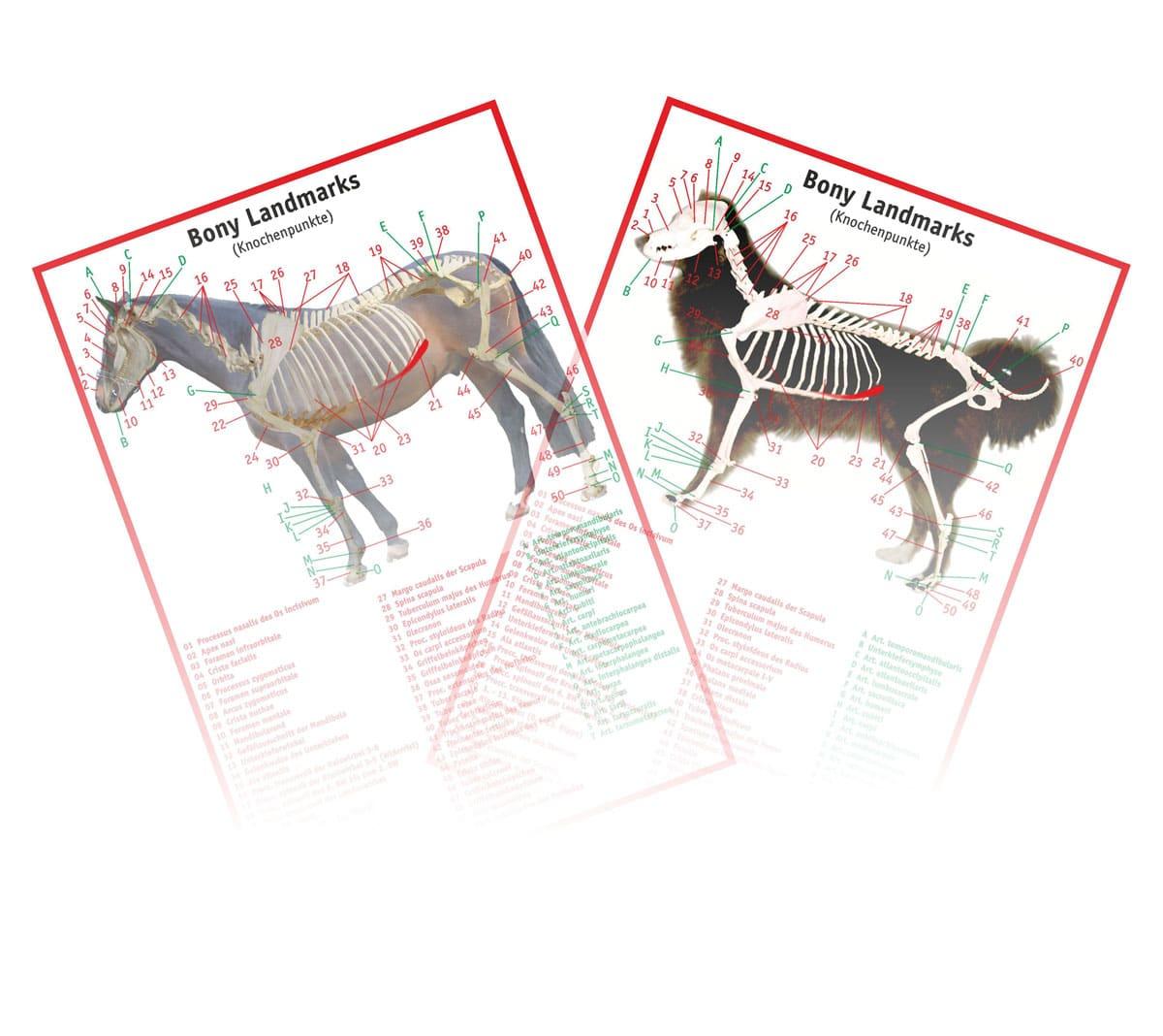 Knochenpunkte und Gelenke HUND und PFERD
